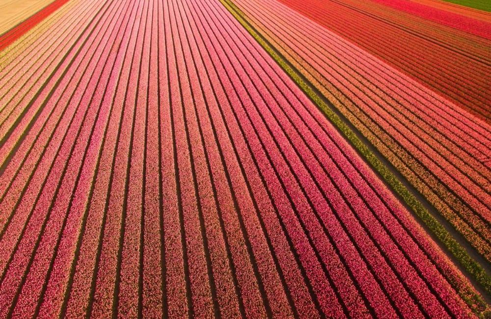 Dutch Tulip Fields @ artpop / Pinterest