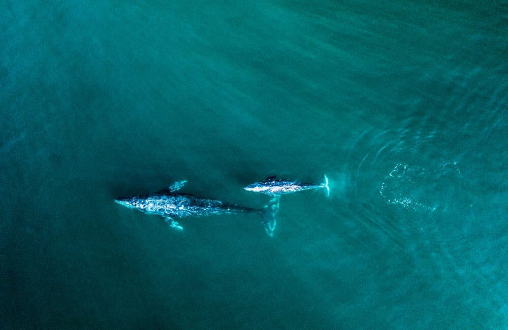 Gray Whales Migrating © Kyle Munson / Shutterstock.com
