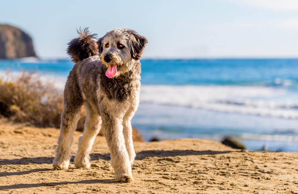 Aussiedoodle - pastor australiano e caniche © Steve Bruckmann / Shutterstock.com